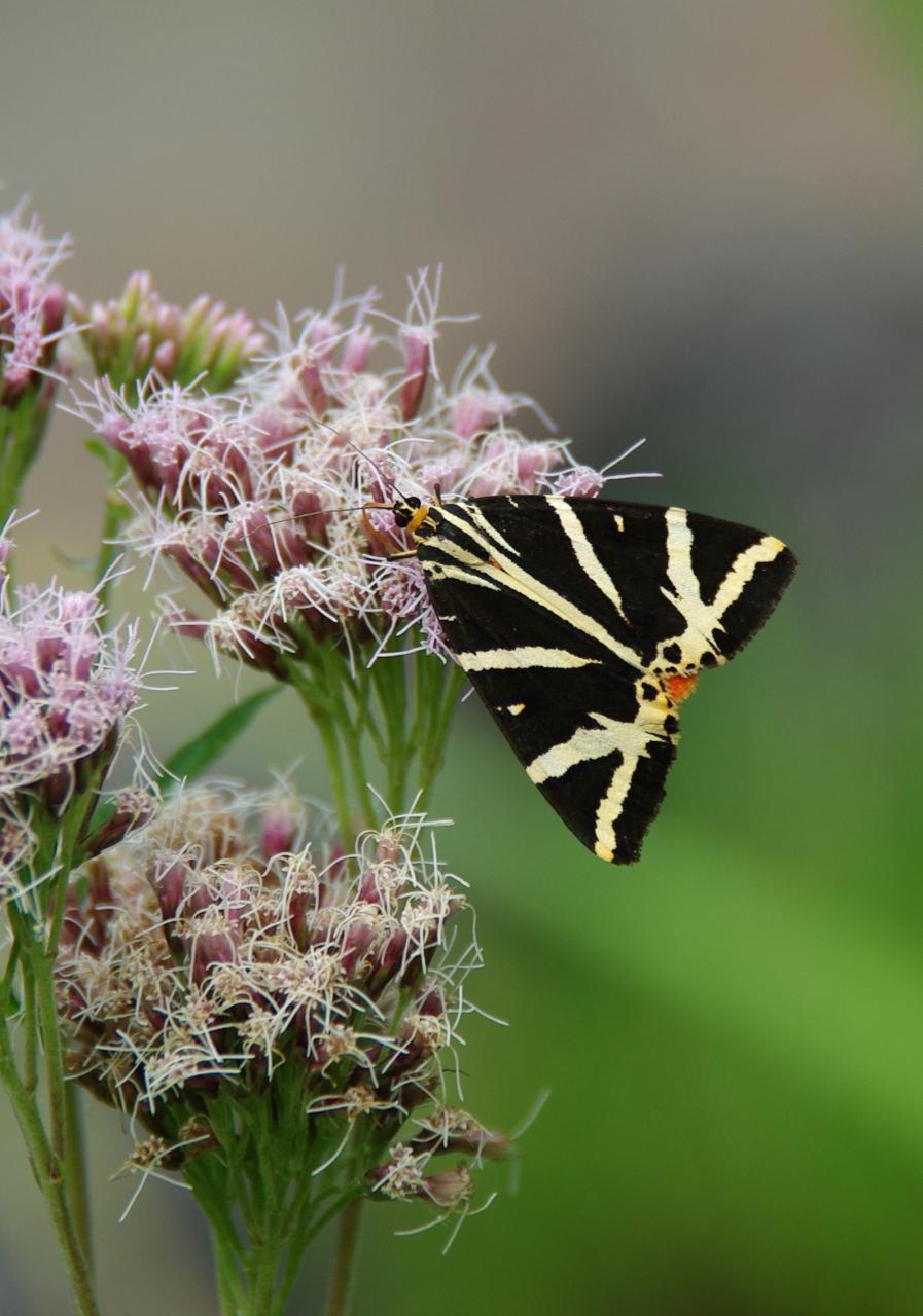 Potenzielle Garten-Schmetterlinge 11.03.2017 - Euplagia quadripunctaria