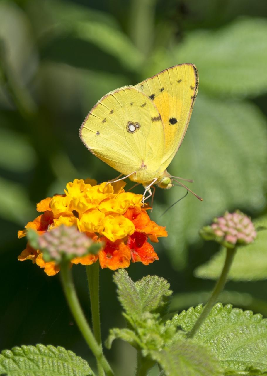 Potenzielle Garten-Schmetterlinge 12.03.2017 - Colias croceus