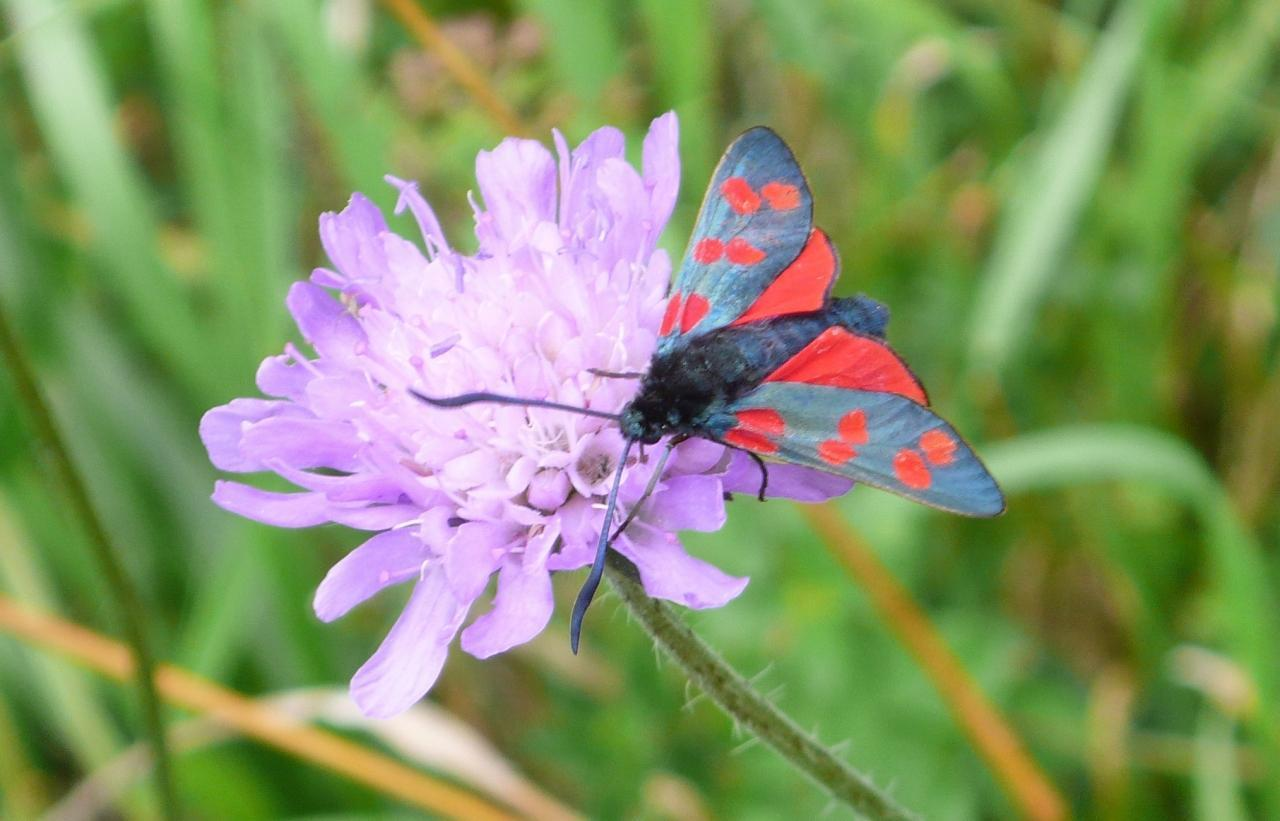 Potenzielle Garten-Schmetterlinge 13.03.2017 - Zygaena filipendulae